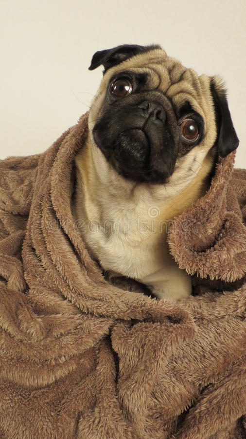 Pug wrapped in blanket stock photography