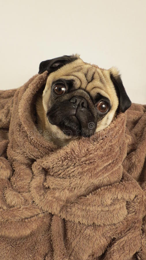 Pug wrapped in blanket royalty free stock images