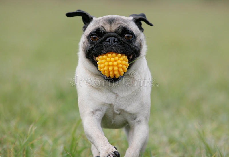Download Pug With Yellow Ball Royalty Free Stock Photos - Image: 12848018