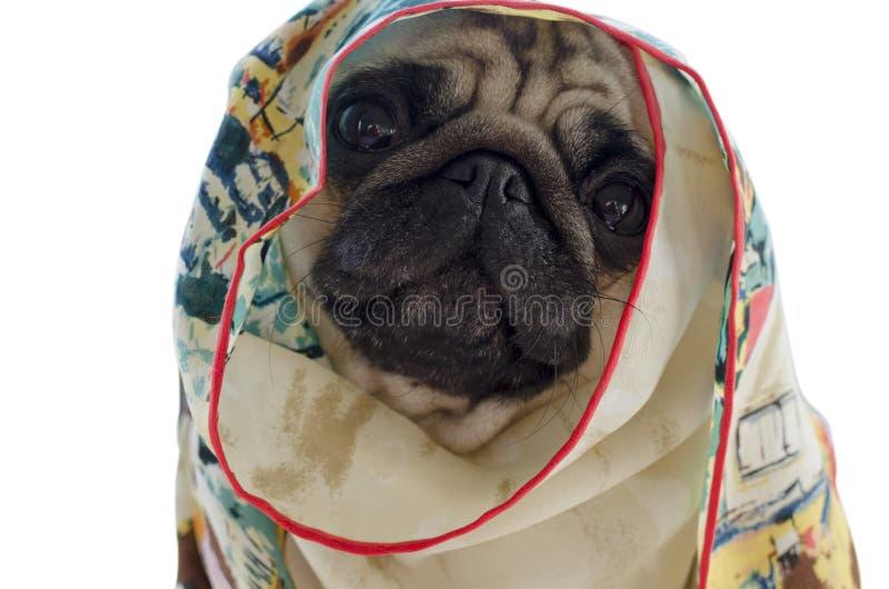 Pug in zijdehalsdoek wordt op witte achtergrond wordt geïsoleerd verpakt die royalty-vrije stock afbeeldingen