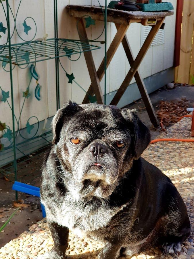 Pugdog preto velho foto de stock royalty free