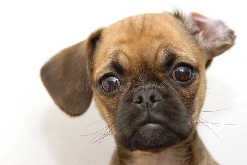Puggle stock images