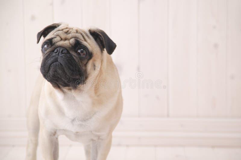 Puggy dog inside house royalty free stock photography