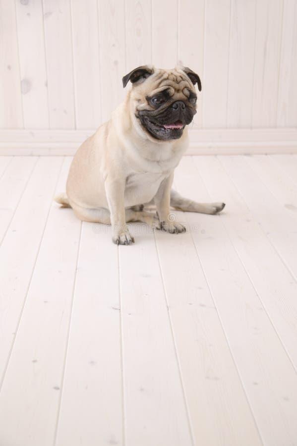 Puggy-Hund sitzen auf dem Boden stockbild