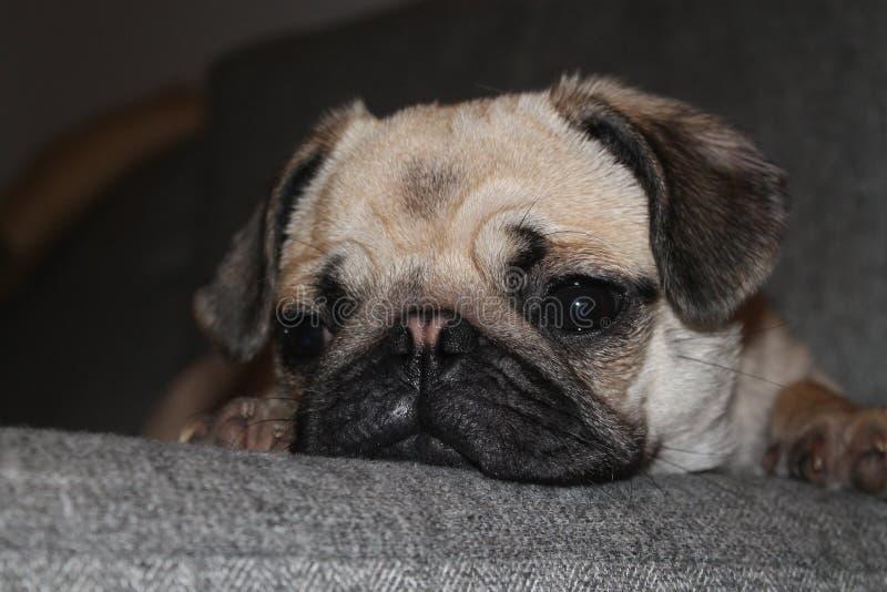 Puggy somnolent photographie stock libre de droits