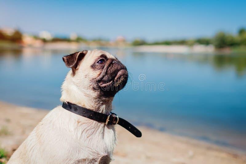 Pughund, der durch Fluss sitzt Glücklicher Welpe, der einen Befehl des Meisters wartet Hund, der draußen kühlt stockbilder