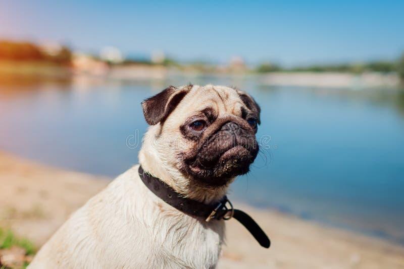 Pughund, der durch Fluss sitzt Gl?cklicher Welpe, der einen Befehl des Meisters wartet Hund, der drau?en k?hlt stockfotografie