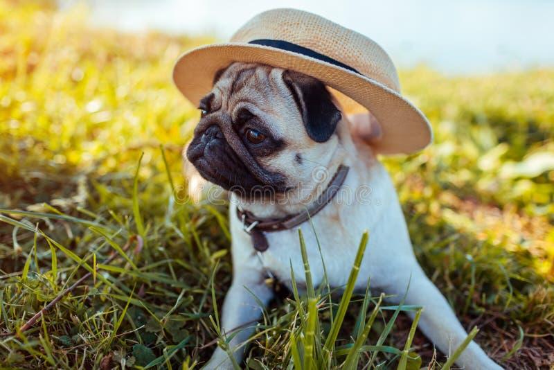 Pughund, der durch tragenden Hut des Flusses sitzt Gl?cklicher Welpe, der einen Befehl des Meisters wartet Hund, der drau?en k?hl stockbilder