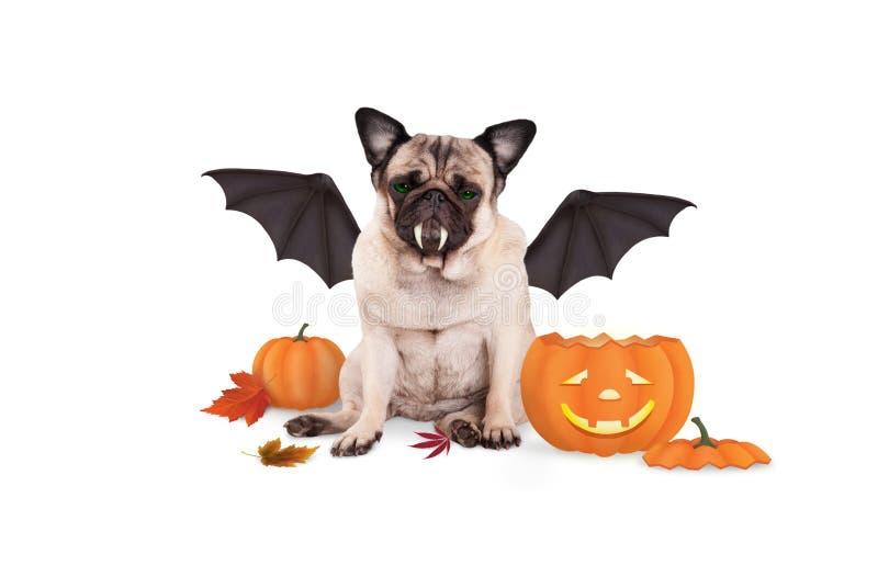 Pughund kleidete oben als Schläger für Halloween, mit lustiger Kürbislaterne an lizenzfreies stockbild