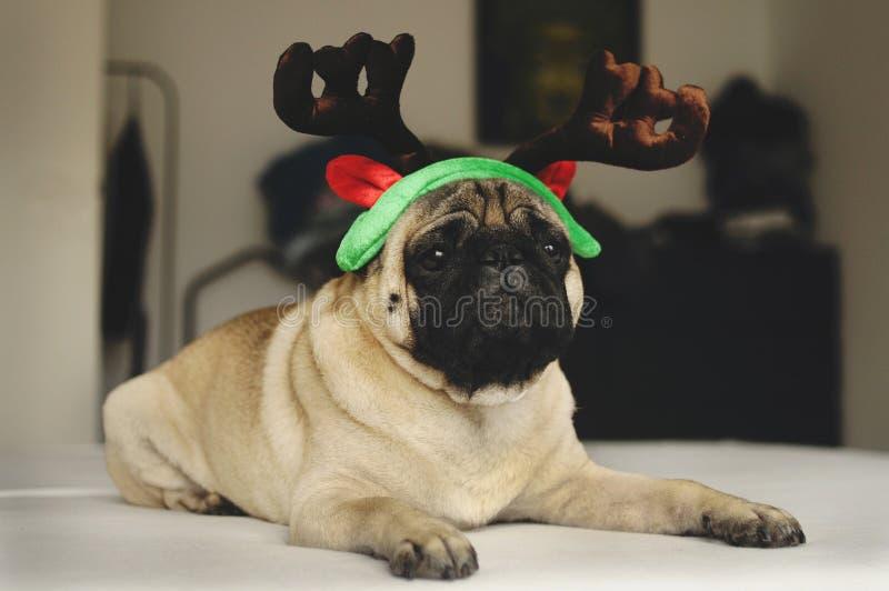 Pughund mit Weihnachtshörnern lizenzfreie stockbilder