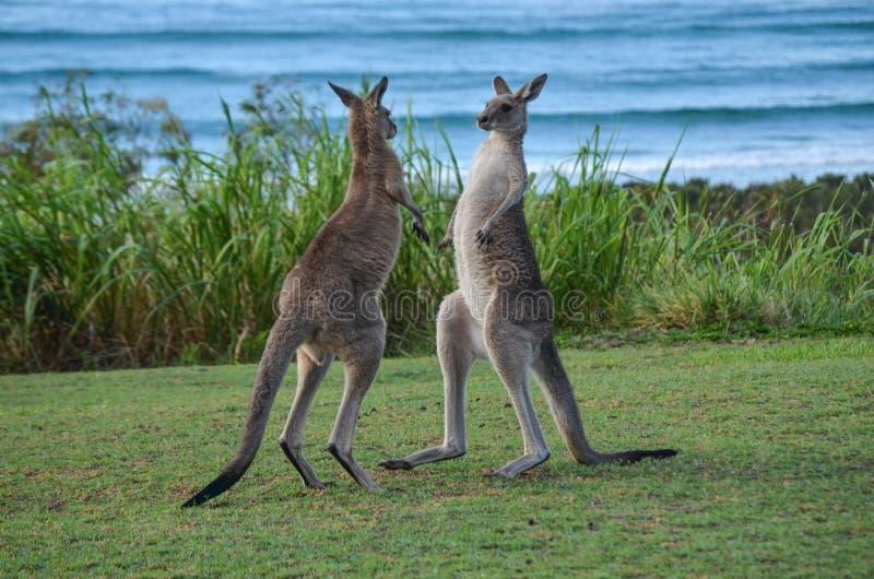 Pugilato del canguro fotografia stock libera da diritti