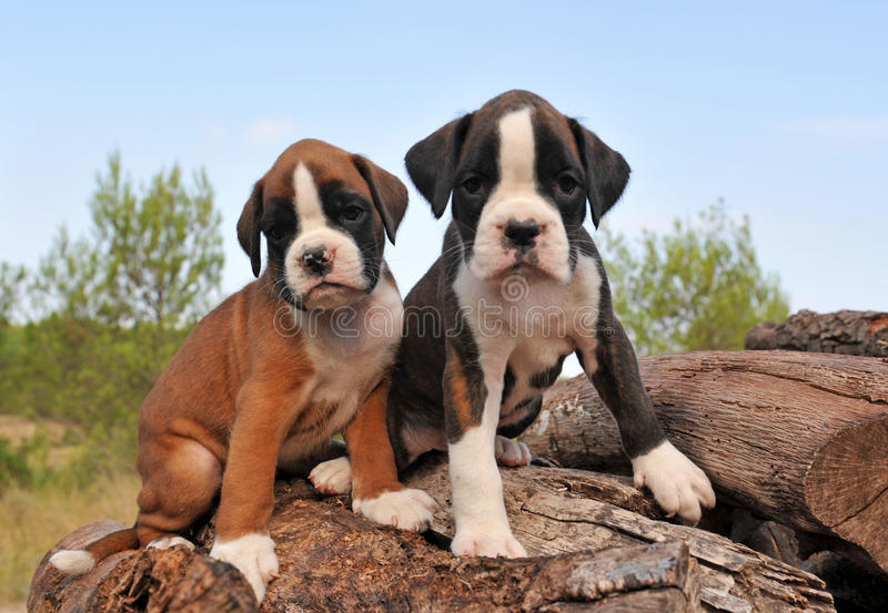 Pugile dei cuccioli fotografie stock libere da diritti