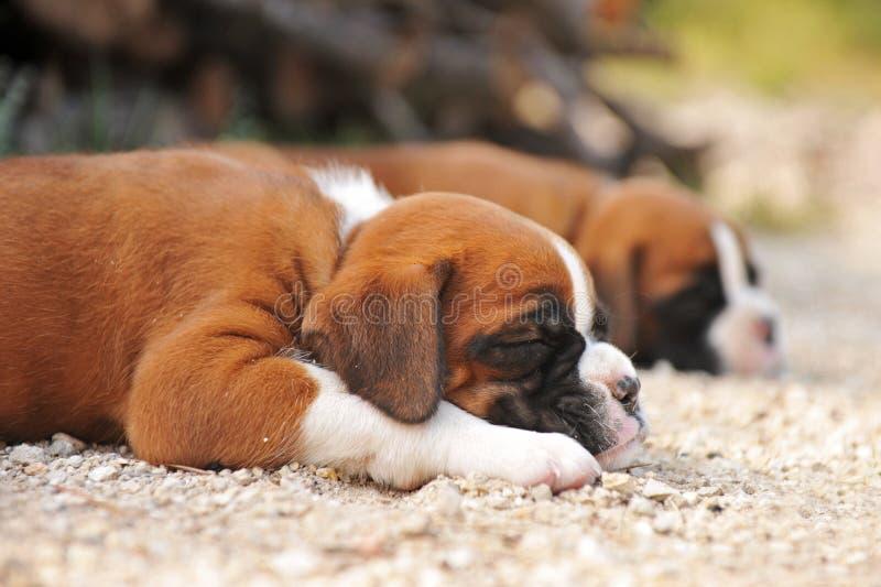 Pugile dei cuccioli fotografia stock libera da diritti
