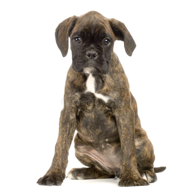 Pugile del cucciolo immagini stock libere da diritti