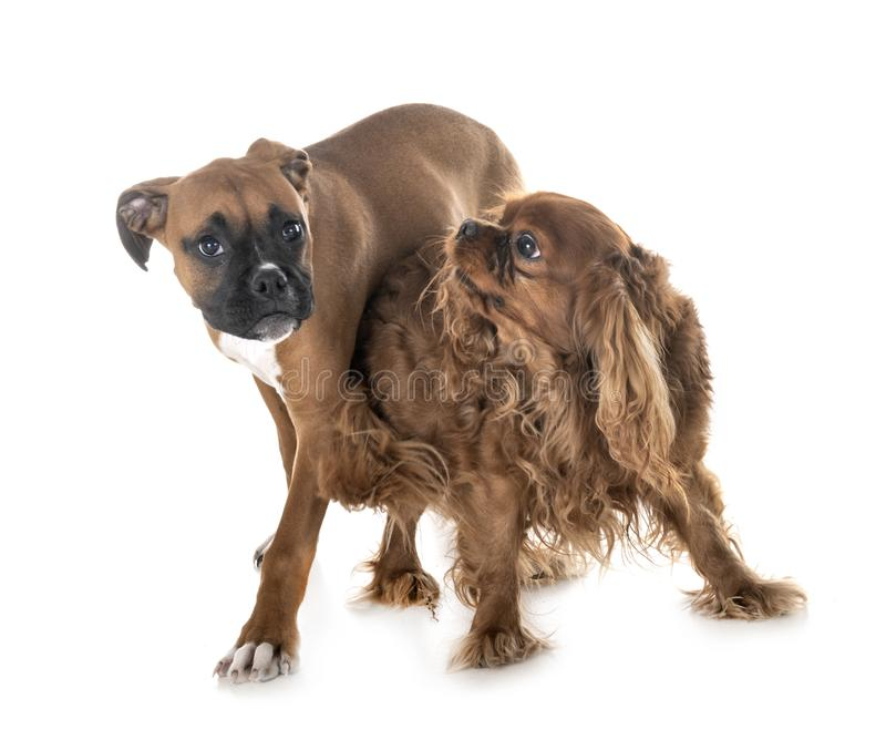 Pugile del cucciolo e re sprezzante charles immagini stock libere da diritti
