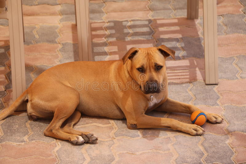 Pugilista - cão do abrigo, necessidades uma família imagem de stock