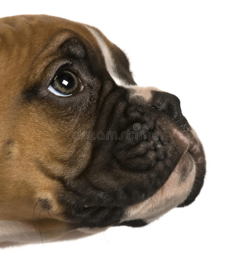 Pugilista do filhote de cachorro, 2 meses velho, olhando acima fotografia de stock