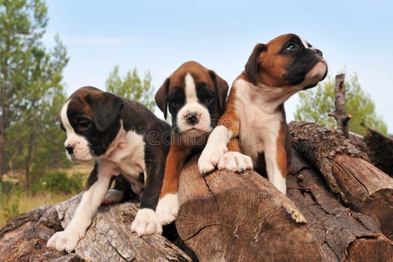 Pugilista dos filhotes de cachorro imagem de stock royalty free