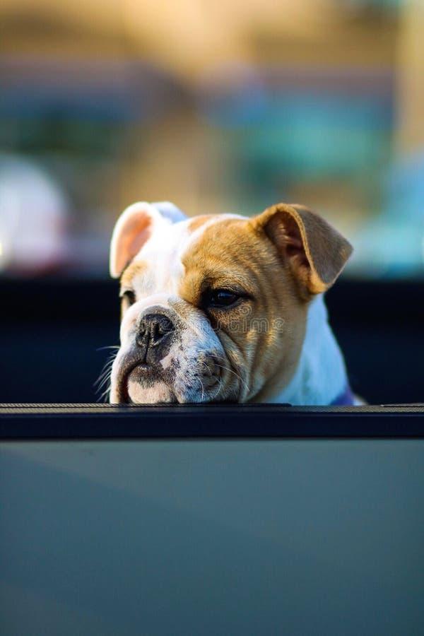 Pugilista inglês idoso Bulldogge com sua cabeça em uma cerca que olha afastado e que espera seu proprietário fotografia de stock royalty free