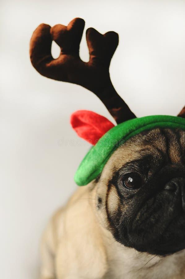Pugporträt im Weihnachtskostüm stockbilder