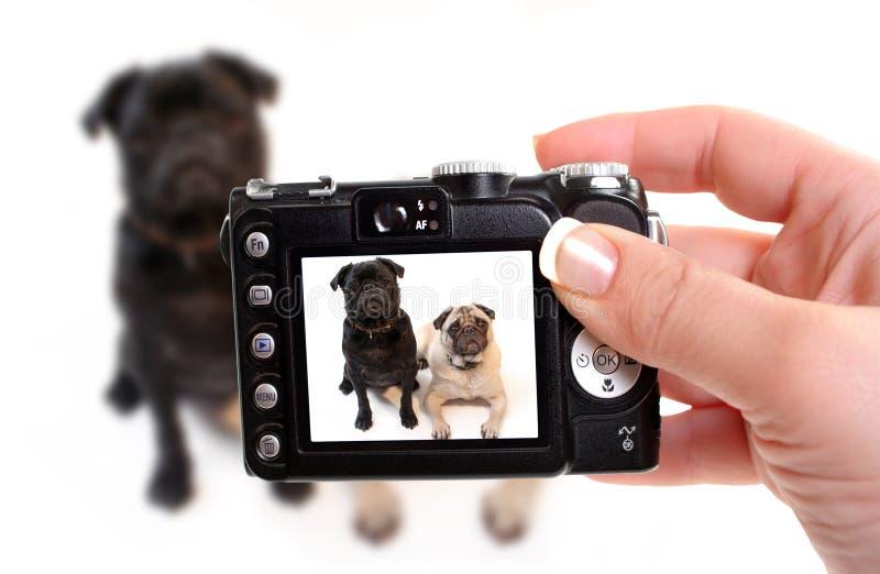 Pugs immagini stock libere da diritti
