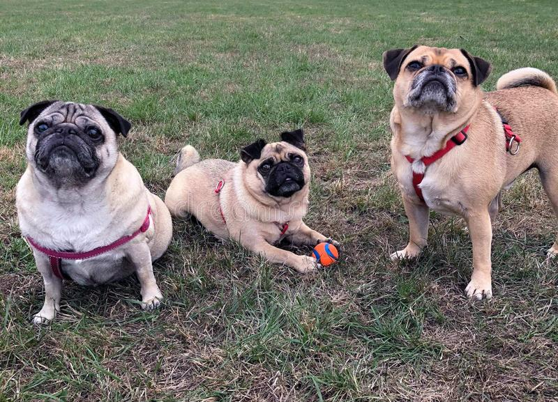 Pugs on a open field grumble landscape royalty free stock photography