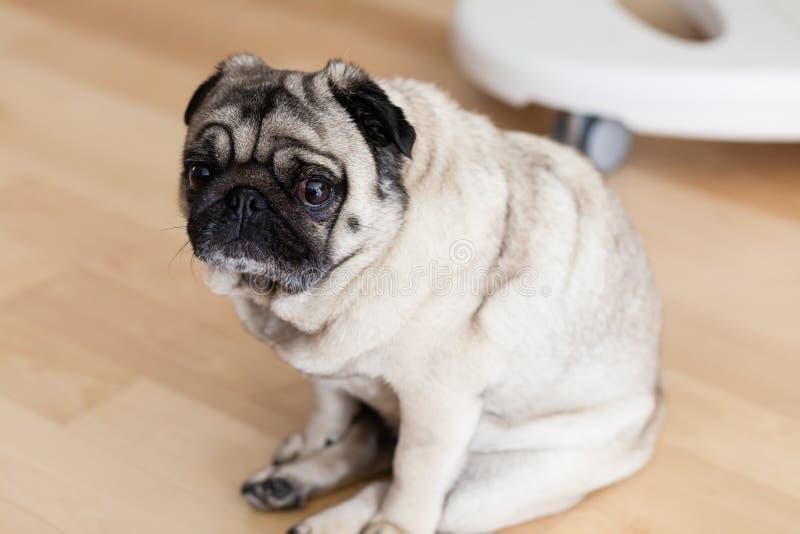 Pugs stock image