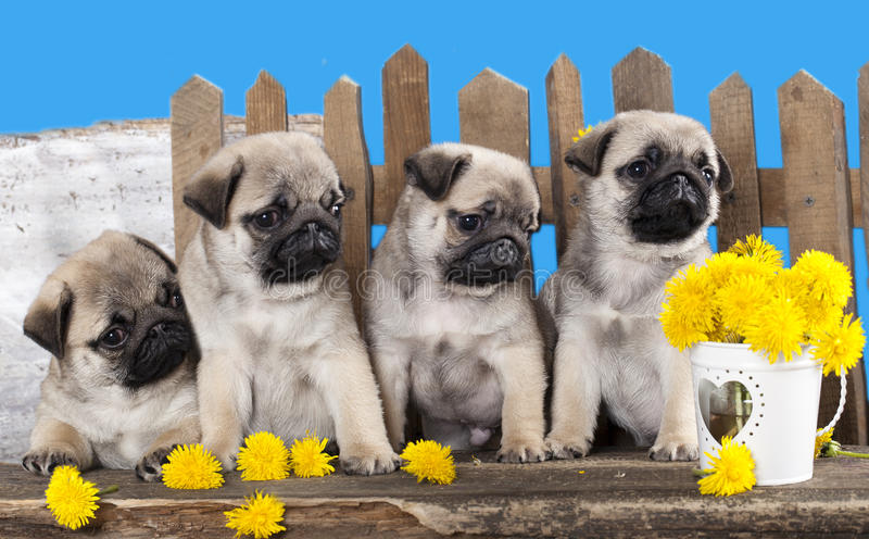 Pugs puppies. And dandelions on a retro background stock photography