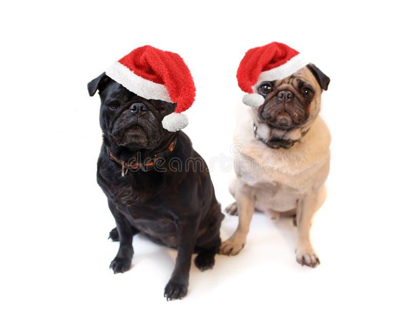 Pugs van Kerstmis royalty-vrije stock fotografie