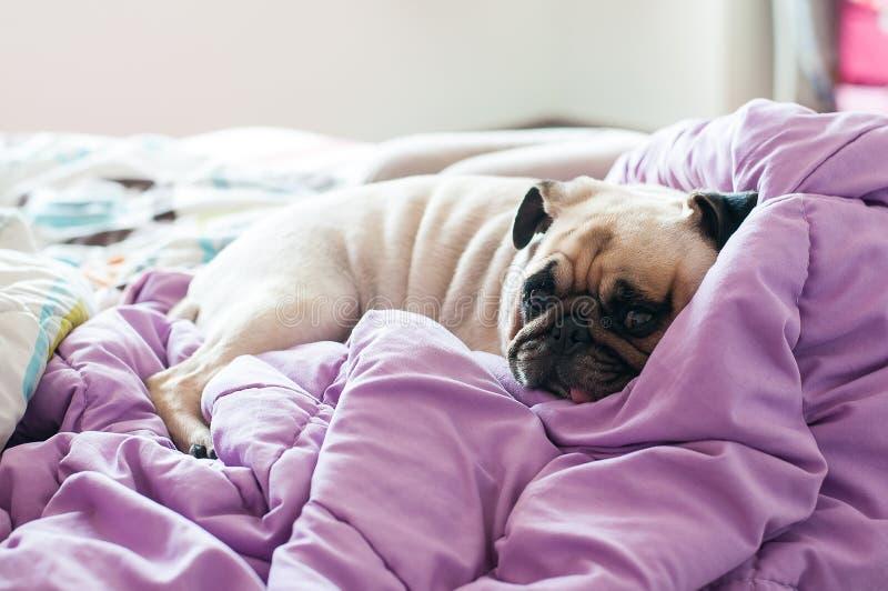 Pugwelpe Hund der Nahaufnahme netter, der auf ihrem Bett und wachsamen Auge stillsteht stockfotografie