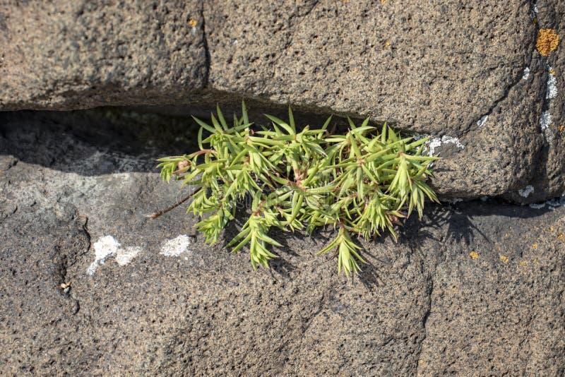 Puissance de mousse ; se développe entre les pierres et absorbe le dioxyde de carbone images libres de droits