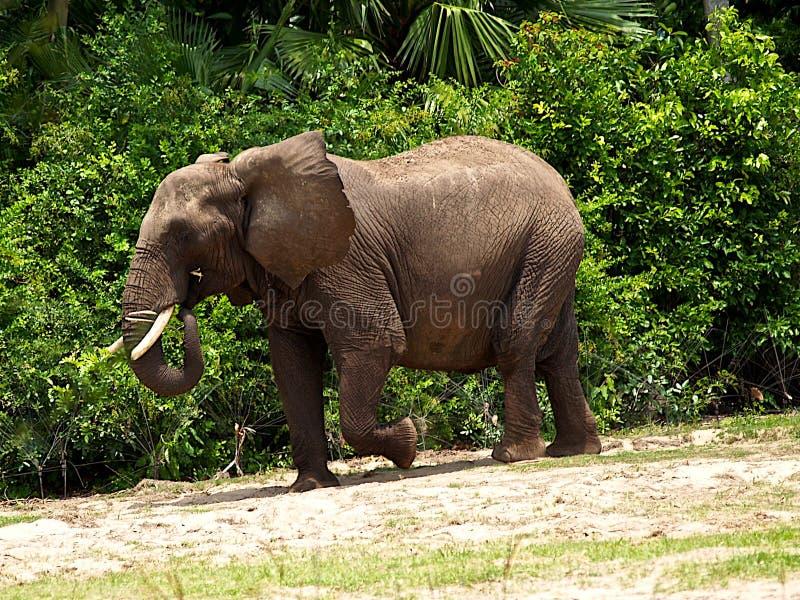 Download Puissant Puissant D'éléphant Image stock - Image du beau, puissant: 8654419