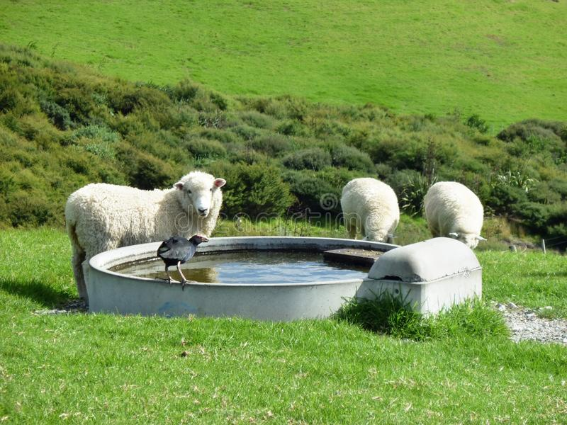 Pukeko και πρόβατα που πίνουν από ένα φρεάτιο στοκ εικόνες με δικαίωμα ελεύθερης χρήσης