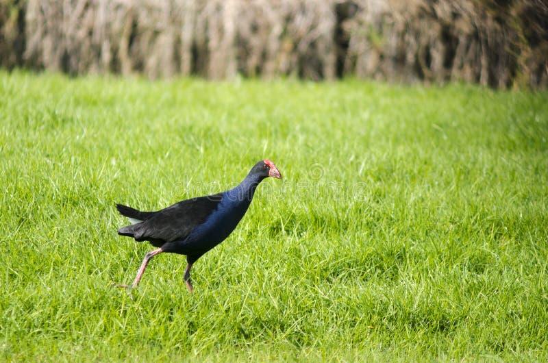 Pukeko -当地新西兰鸟 免版税库存图片