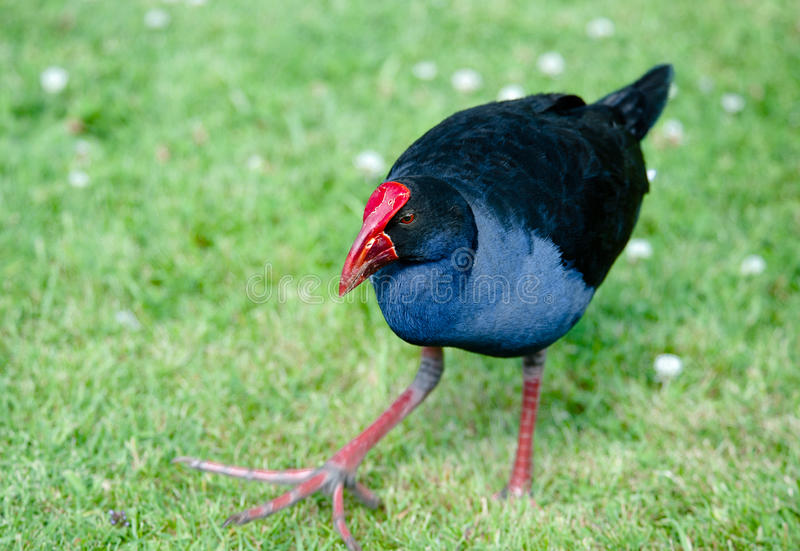 Pukeko - NZ Swamp Hen. A large relatively compact rail with deep blue-violet head, breast and throat, black back and wings, white under-tail coverts, red eyes stock images