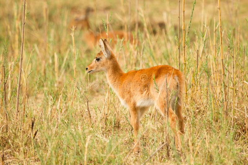 Download Puku stock image. Image of aepyceros, botswana, baby - 17927853