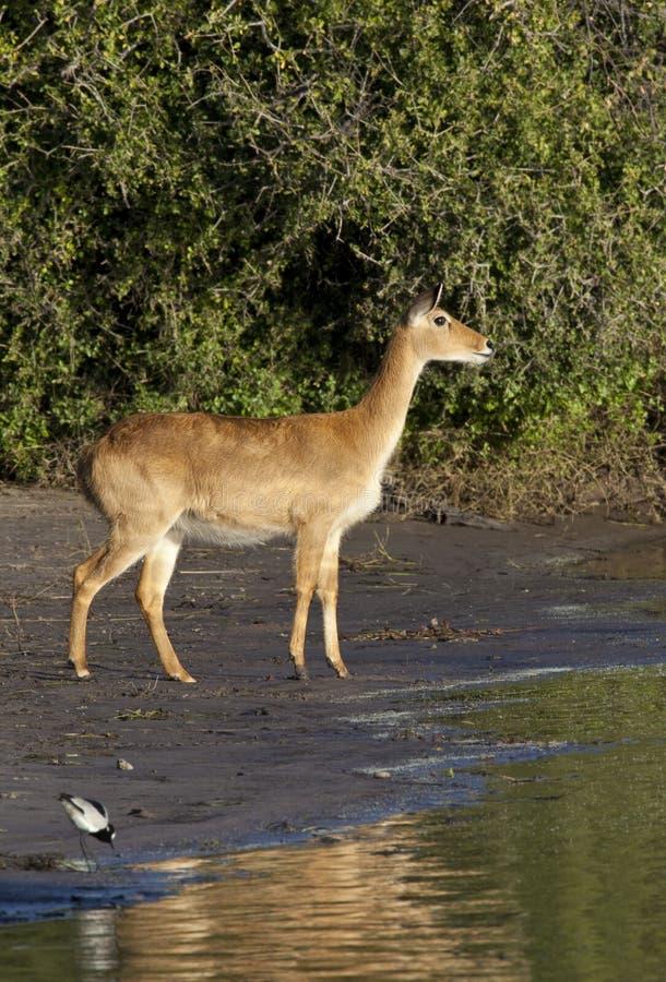 Download Puku Antelope - Botswana Stock Photography - Image: 17281682