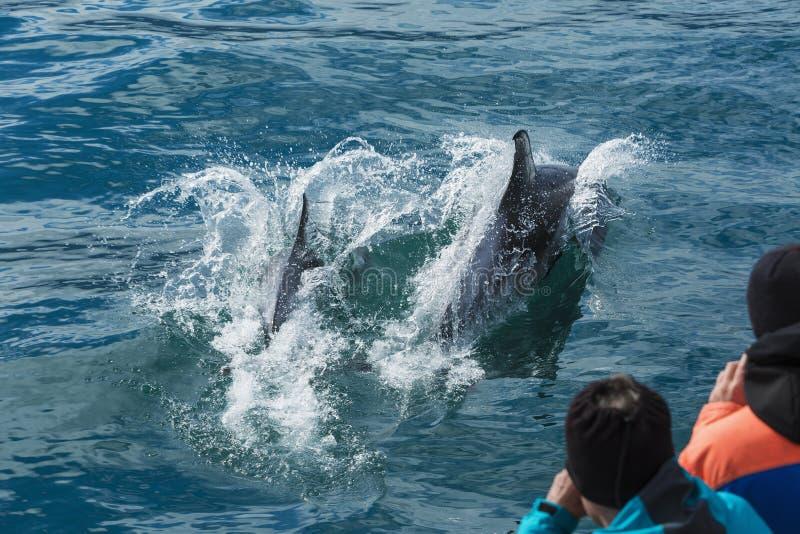 Pulando golfinhos no mar para fotografar os povos do barco fotografia de stock royalty free
