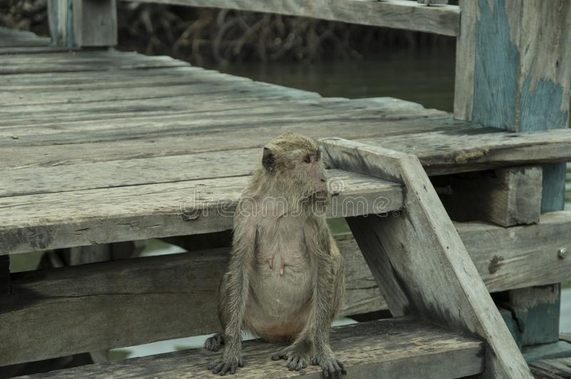 Pulau Rinca - Parc nationales Komodo - Affe stockfotografie