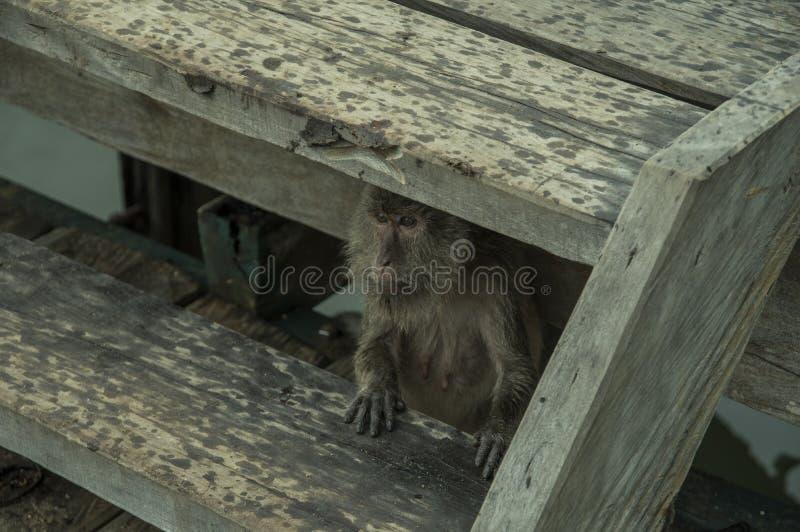 Pulau Rinca - Parc nationales Komodo - Affe stockfotos