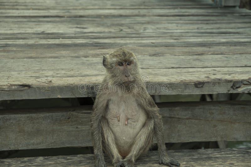 Pulau Rinca - Parc nationales Komodo - Affe lizenzfreie stockfotos