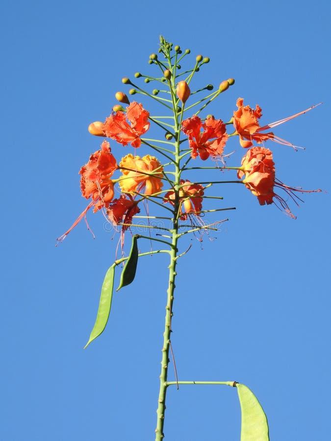 Pulcherrima nano di Caesalpinia di poinciana: fiori con una miscela brillante di giallo, di arancio a rosso, ragruppato con gli s fotografie stock libere da diritti