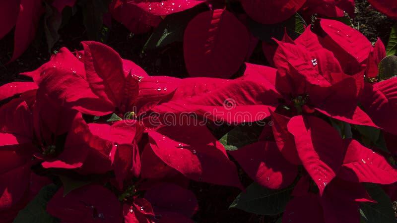 Pulcherrima vermelho impressionante da poinsétia ou do eufórbio de veludo fotos de stock royalty free