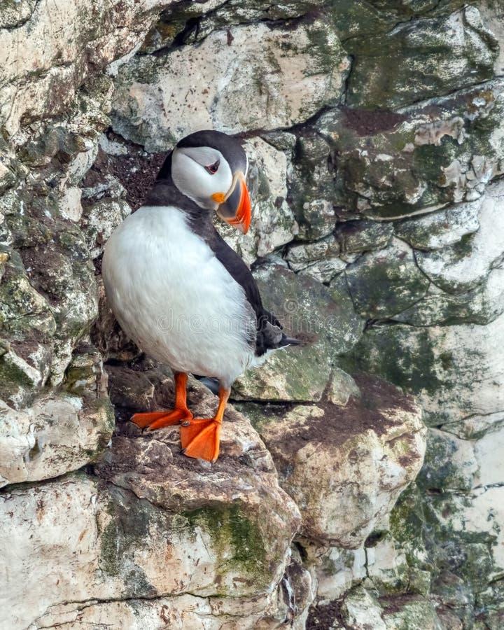 Pulcinella di mare - arctica del Fratercula, Yorkshire, Inghilterra immagine stock