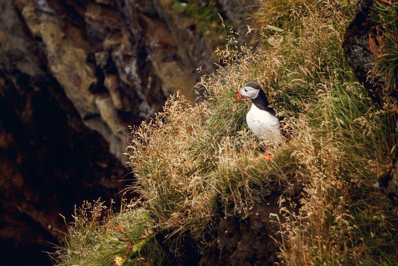 Pulcinella di mare che si siede sulla scogliera, uccello nella colonia di incastramento, uccello sveglio in bianco e nero artico  immagini stock libere da diritti