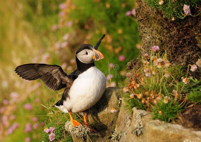 Pulcinella di mare, Scozia fotografie stock