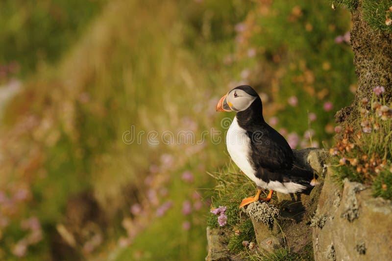 Pulcinella di mare, Scozia immagini stock
