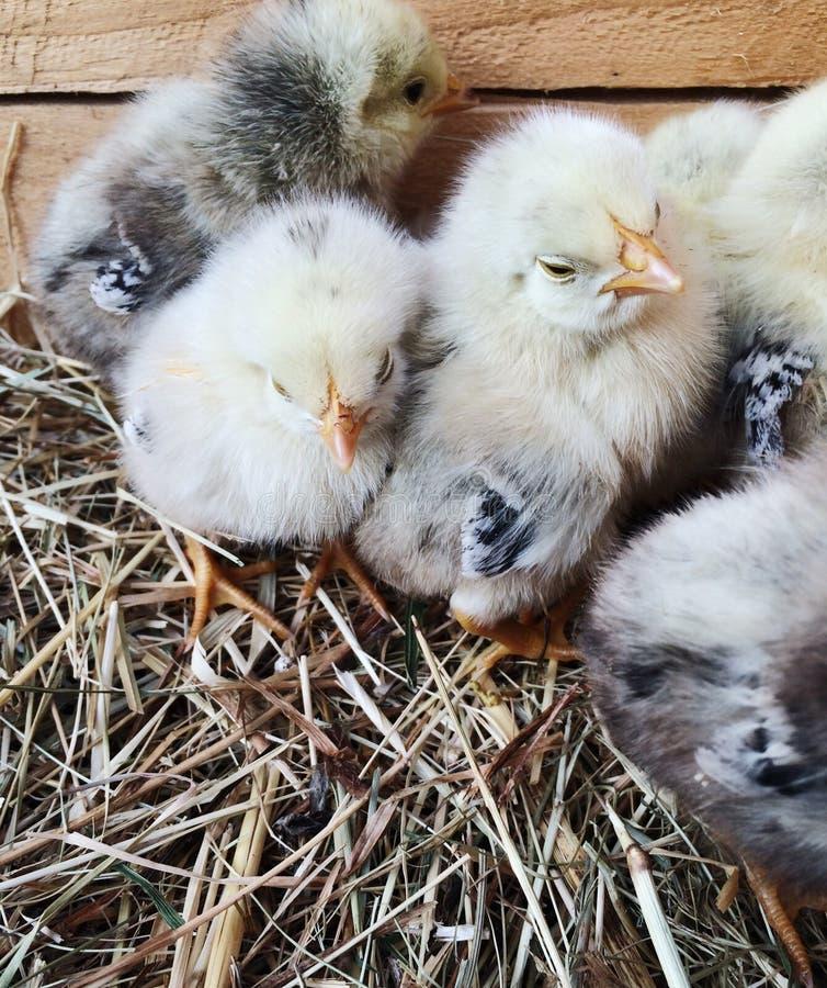 Pulcini neonati lanuginosi adorabili su fieno in una scatola di legno Stile di vita dell'azienda agricola Vita della campagna immagine stock