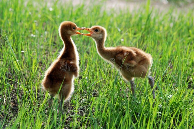 pulcini Rosso-incoronati della gru fotografia stock libera da diritti