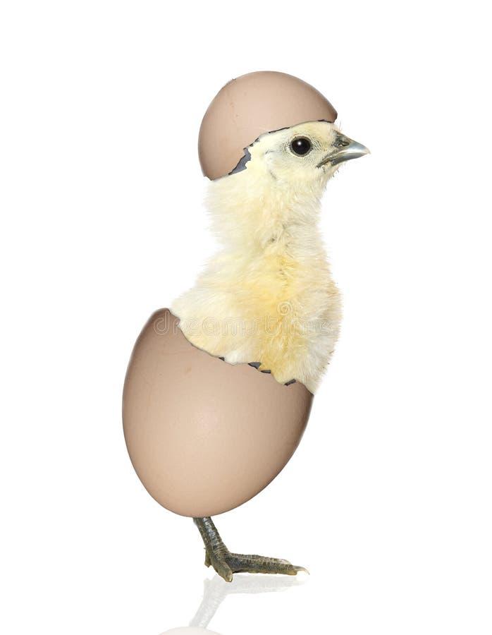 Pulcino che cova dall'uovo fotografie stock libere da diritti